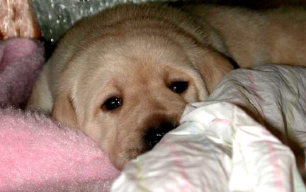 Labrador Retriever puppy - click here to continue